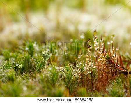 Moss And Lichen Covered By Dew Drops