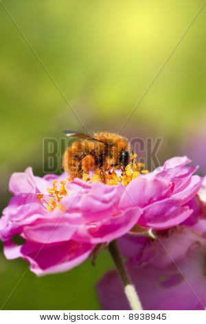 Bee Collecting Honey