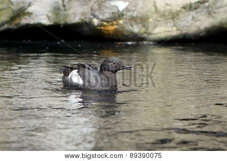 Pigeon Guillemot Swimming At Zoo.