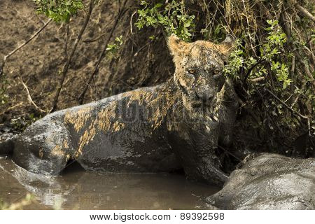 Lioness lying next to its prey in a muddy river, Serengeti, Tanzania, Africa