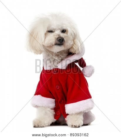 Poodle wearing a Santa pug (11 years old) in front of a white background