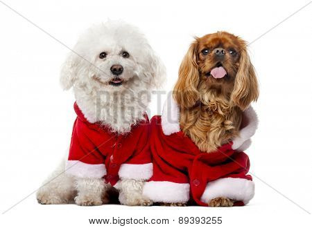 Maltese (4 years old), Cavalier King Charles Spaniel (2 years old) in front of a white background