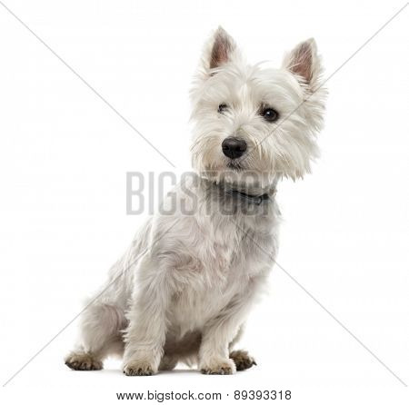 West Highland White Terrier (18 months old) in front of a white background