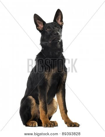 German Shepherd Dog puppy (5 months old) in front of a white background