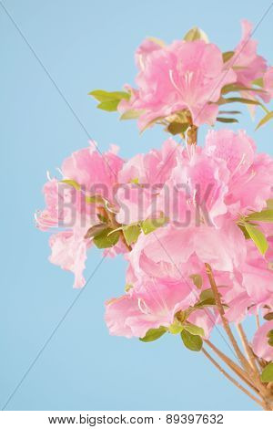Pink Azalea With Blue Background.