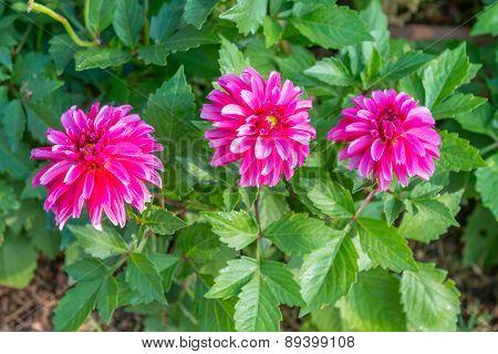Beautiful Pink Dahlia Flowers Background