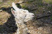 image of lamas  - Newborn white Llama  - JPG