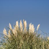 picture of pampas grass  - Cortaderia selloana - pampas-grass against the blue sky