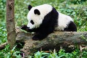 pic of panda bear  - one Panda bear cub playing Bifengxia base reserve Sichuan China - JPG