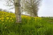 image of birching  - Yellow wildflowers in spring and birches under a cloudy sky