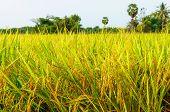 pic of rice  - rice fields or rice paddies stalks of rice - JPG