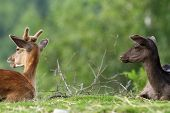 picture of deer family  - two young fallow deers standing on meadow  - JPG
