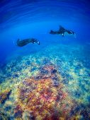 stock photo of manta ray  - Manta rays filter feeding above a coral reef in the blue Komodo waters - JPG