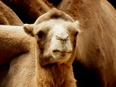 picture of zoo  - close up of a camel in the zoo - JPG