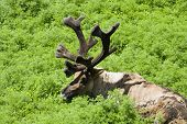 picture of caribou  - caribou shedding the winter fur and growing new antlers that are still in velvet - JPG
