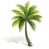picture of palm  - Palm tree with shadow isolated on white - JPG