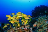 image of biodiversity  - School yellow fish  - JPG