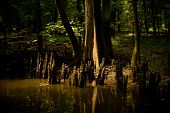 Cypress Tree and Knees in the Swamp