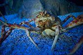 image of crab  - Big crab in a tank looking at camera at the aquarium - JPG