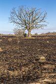 pic of prairie  - A large oak tree although bare still stands following a prairie fire - JPG