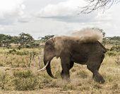 picture of bathing  - Elephant dust bathing - JPG