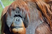 picture of rainforest animal  - The orangutans - JPG