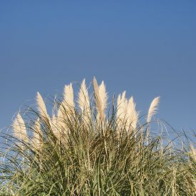 image of pampa  - Cortaderia selloana - pampas-grass against the blue sky ** Note: Soft Focus at 100%, best at smaller sizes - JPG