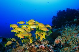 pic of school fish  - School yellow fish  - JPG