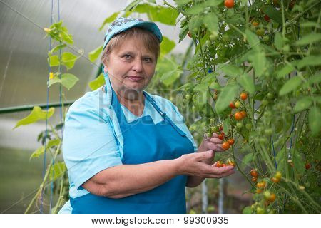 Senior pensioner woman wearing blue apron in greenhouse with tomato