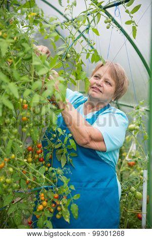 Senior pensioner woman gathering in greenhouse