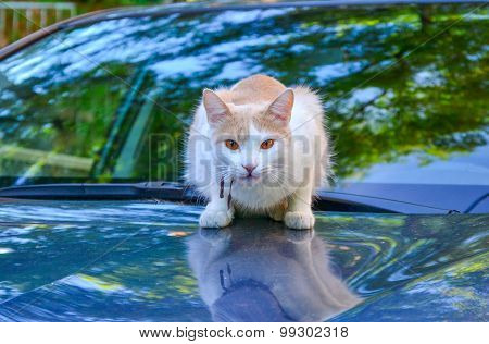 White And Cream Colored Cat With Amber Eyes Sitting On The Blue Car Bonnet