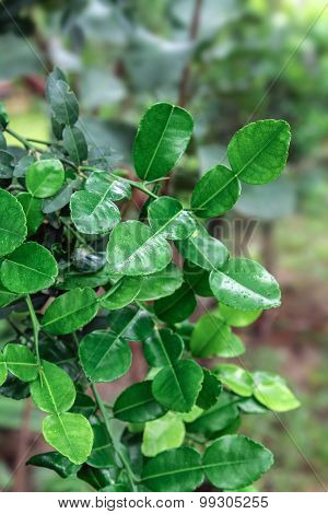 Kaffir lime leaf.