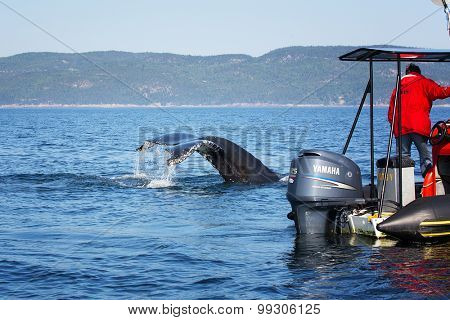 TADOUSSAC, CANADA - AUGUST 25th: A humpback whale surfaces and dives close to a tourist boat during a whale watching excursion. On August 25th 2014 in Tadoussac, Quebec, Canada
