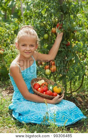 Young girl picking tomatoes in the summer garden - holding a basket with fresh vegetables