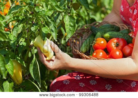 Woman hands picking fresh vegetables, peppers, tomatoes and cucumbers, in the garden - closeup