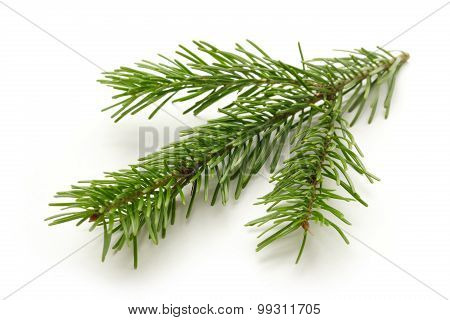 Twig Of Evergreen Fir On White