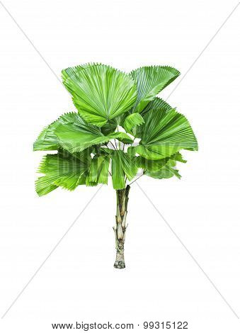 Livistona Retundifolia Palm Tree Isolated
