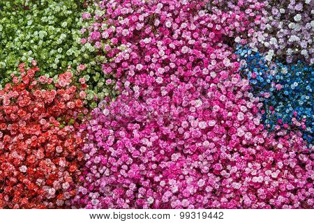 Gypsophila Flower Background