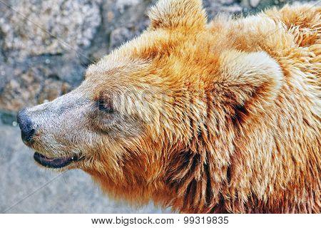 Cute Brown Bear.