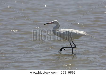 White Morph Of Reddish Egret