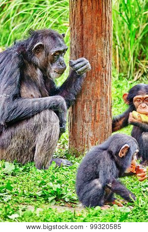 Family Of Apes - Chimpanzee Monkey.
