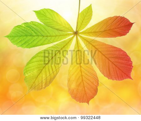 Autumn leaf of chestnut tree (Aesculus hippocastanum) on natural blurred background