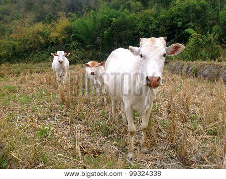 Three white cows on straw field farm