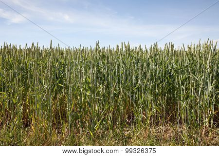 Germany, North Rhine-westphalia, Grain Field, Barley Field