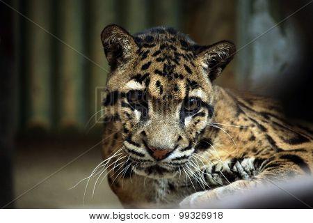 Clouded leopard (Neofelis nebulosa). Wildlife animal.