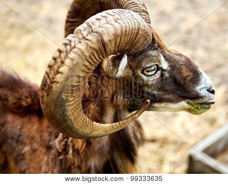 Ibex The Wild Mountain Goat With Amazing Horns