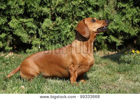 Beautiful Dachshund In The Garden