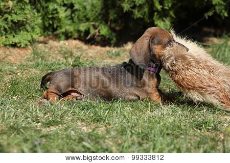 Amazing Dachshund Puppy Laying In The Garden