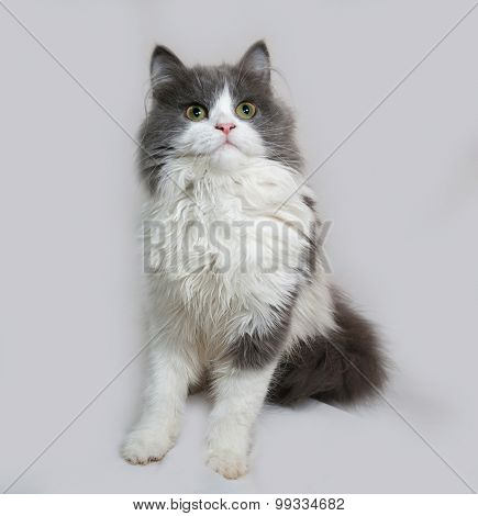 Fluffy Gray And White Kitten Sitting On Gray