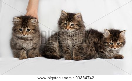 Three Fluffy Siberian Striped Kitten Sitting On Gray